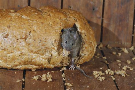 muizen in huis ongedierte muizen bestrijden anticimex