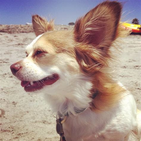 chion puppy shop 17 best images about duke my chion papillon chihuahua on chihuahuas