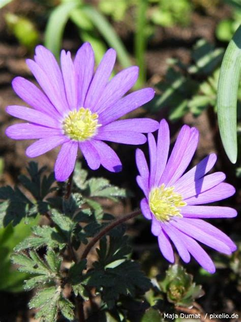 blau bluehende pflanzen und blumen pflege pflanzen
