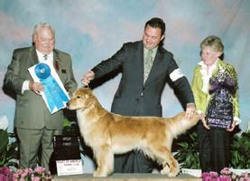 scion golden retrievers of america kennel club photo gallery