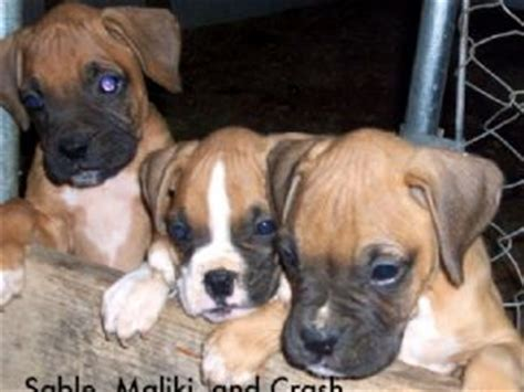 boxer puppies for sale in ky boxer puppies in kentucky