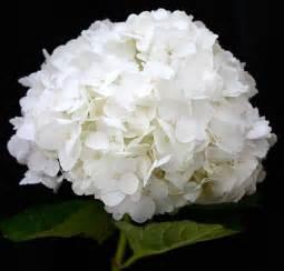 white hydrangea by kume bryant