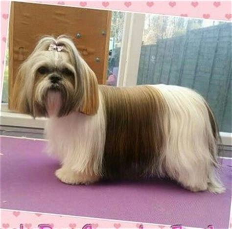 why is my shih tzu shedding hair hair do for shih tzu 7 unique pictures of shih tzu hair styles shih tzu information