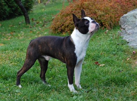 boston terrier pictures boston terrier the of animals