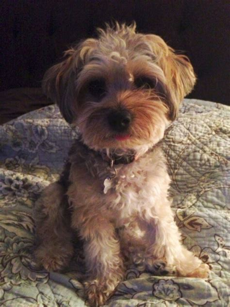 haircuts for poodle terrier mix 20 best yorkie poo haircuts images on pinterest yorkie