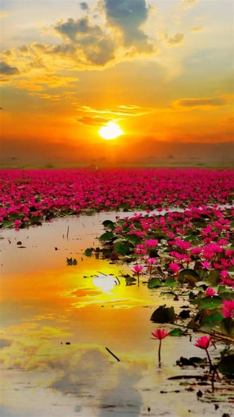wallpaper lotus flowers sunset hd  wallpapers