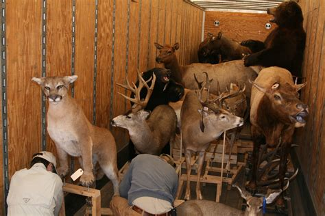 cabelas donates truck loads  taxidermy  csc news chadron state college