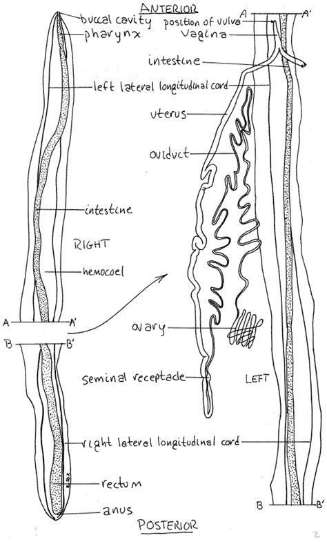 labelled diagram of ascaris untitled 1 lanwebs lander edu