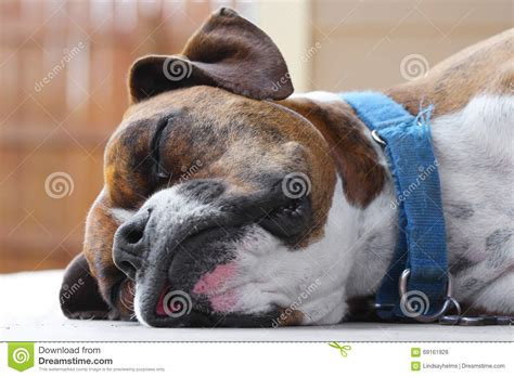 succulents look weak and facing down brown boxer sleeping stock photo image of torn cute