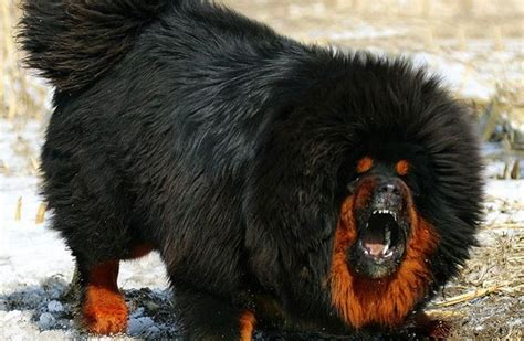 best food for mastiff puppy tibetan mastiff reviews real reviews from real