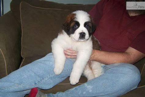 bernard puppies for sale in ny bernard mix puppies in de pa md nj breeds picture