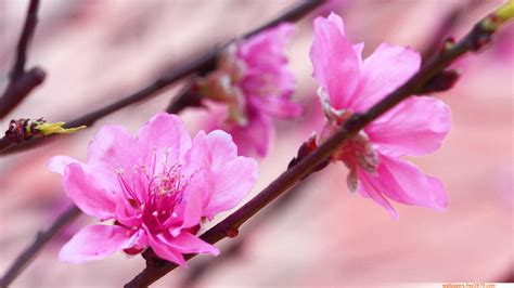 asian cherry blossom flower wallpapers wallpaper