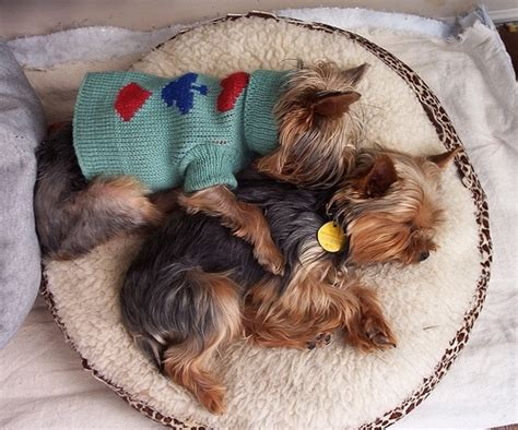yorkie sleeping puppy sleeping yorkie terrier image 775 on favim