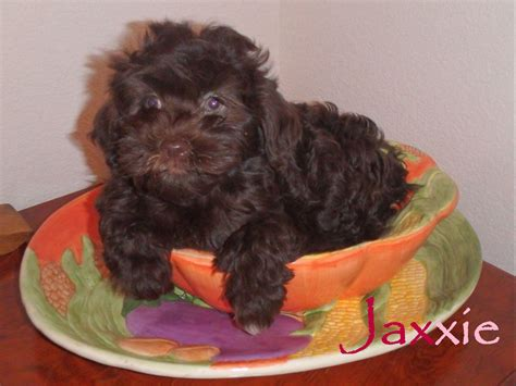 havanese arizona havanese az barkn wiggles puppies for sale