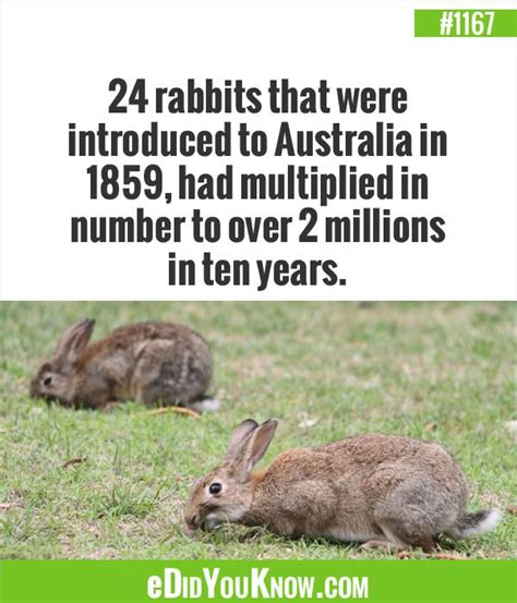 new year rabbit facts edidyouknow 24 rabbits that were introduced to