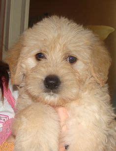 mini labradoodles houston 1000 images about dogs on poodle mix lhasa