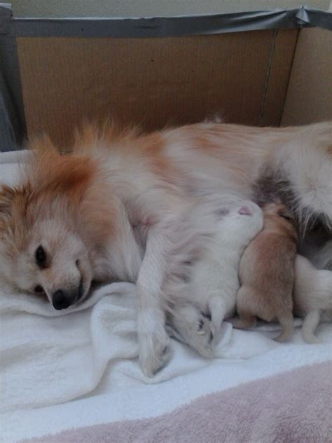 pomeranian diarrhea a pomeranian rescue story fussims and babies