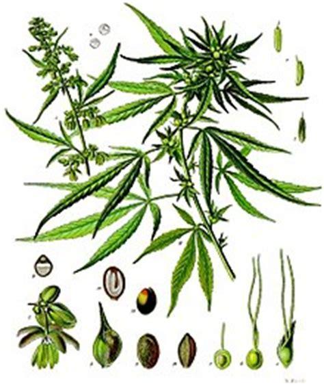 olio di fiori di canapa olio essenziale di fiori di canapa