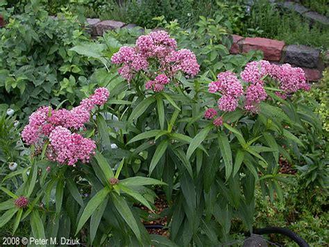 Garden Flower Plants Asclepias Incarnata Sw Milkweed Minnesota Wildflowers