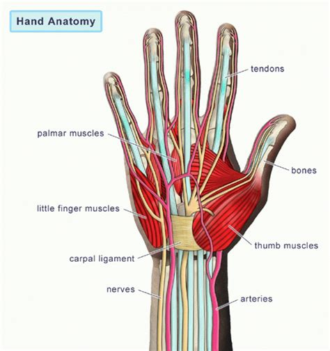 human tendons diagram diagram of muscles and tendons human anatomy