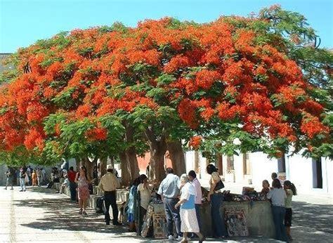 Bibit Flamboyan cara menanam dan merawat pohon flamboyan dari biji