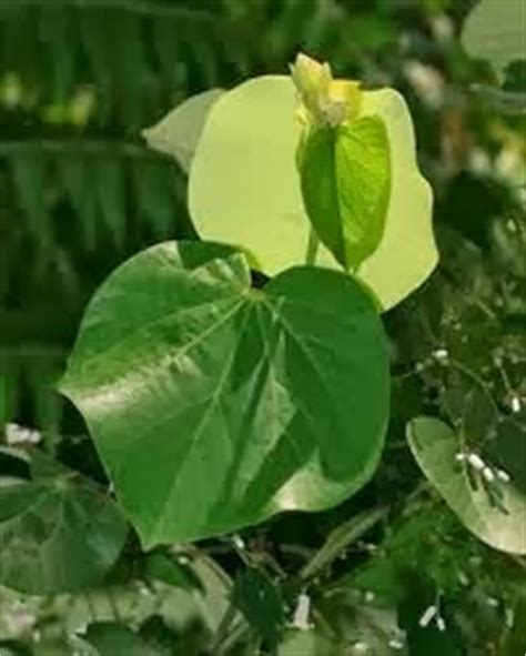 belajar tentang alam tumbuhan studi daun bangun daun