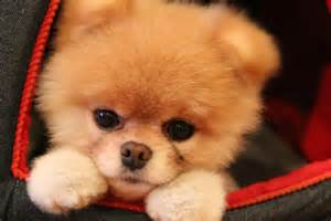 the pomeranian boo sad boo the pomeranian victim of cruel hoax