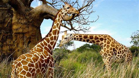 imagenes de jirafas tumblr wallpapers de girafas fotos e imagens
