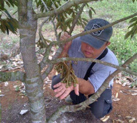 Bibit Durian Bawor Di Banyumas durian bawor bibit durian bawor bibit durian bawor murah