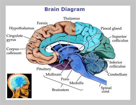 diagram of a brain human muscles structure search results calendar 2015