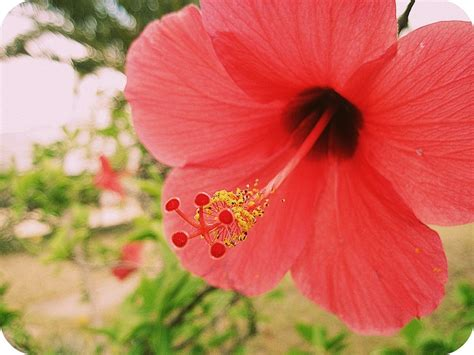 fiore ibisco significato significato ibisco significato fiori significato