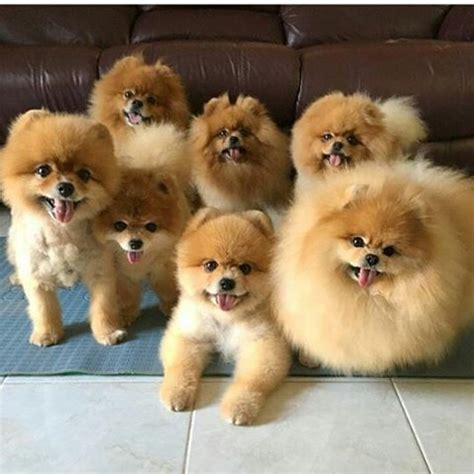 colors of pomeranians 1000 ideas about pomeranian colors on alaskan
