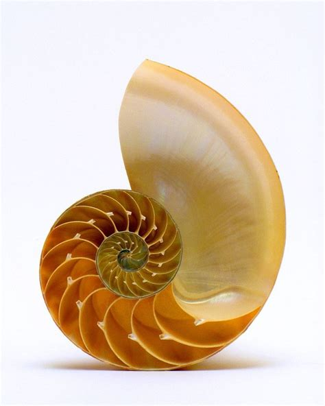 nautilus pattern nature fibonacci sequence in nature nautilus shell natural