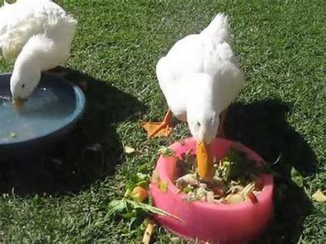 alimento para patos domesticos q comen los patos relacionados con q