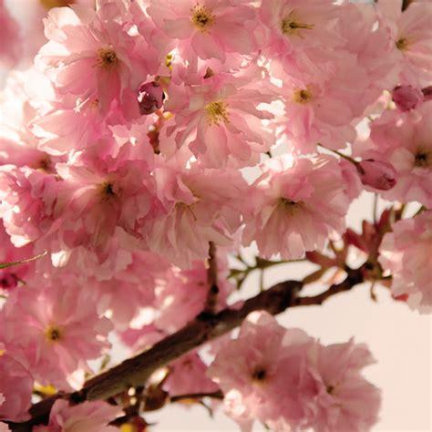 imagenes de flores y arboles imagenes de arboles con flores rosas imagui
