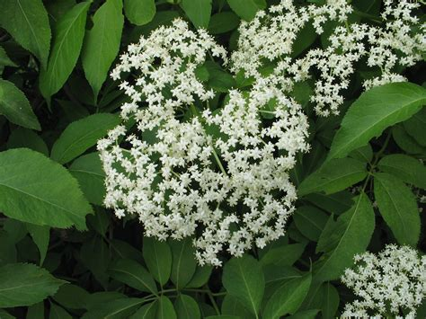 shrub with small white flower clusters shrubs for bees dyck arboretum