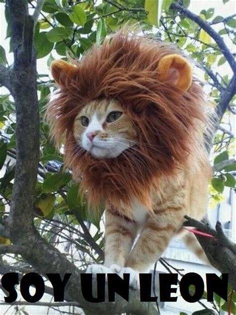 imagenes leones vs magallanes chistosas el gato que es un leon by emilys14 on deviantart