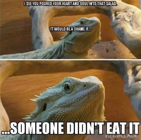 Bearded Dragon Meme - 11 best l g memes images on pinterest ha ha leopard