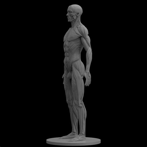Techoffice by Male Artist Models Male Ecorche Human Anatomy Reference 3d