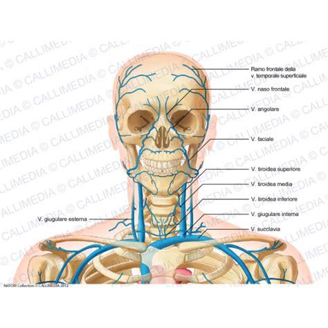 vene della testa testa collo vista anteriore vene