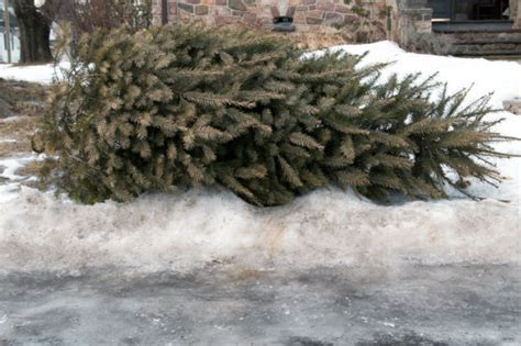 how to get rid of your christmas tree fort greene new