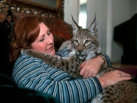 giant house cat exotic pet owner and her bobcat amazing if not