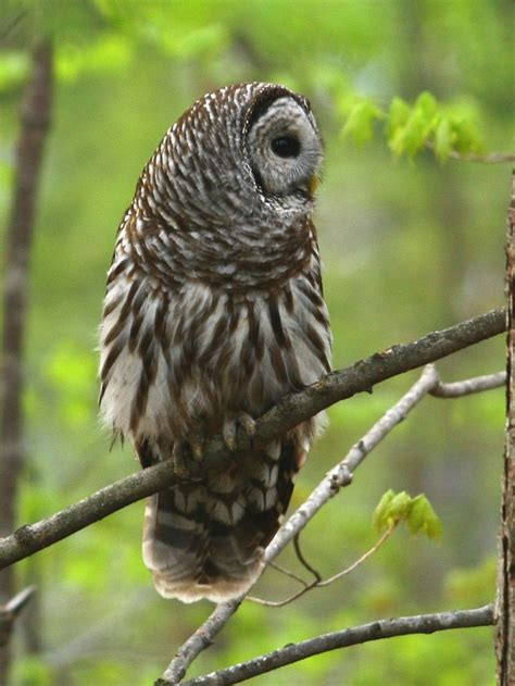 17 best images about barred owl on pinterest birds