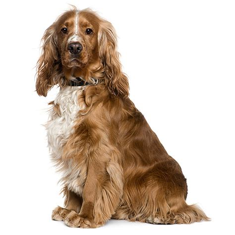 Cocker Spaniel Shedding Information by Cocker Spaniel See Description And Pictures Of