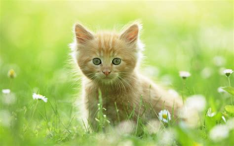 wallpaper cats animals cute kitten wallpapers hd wallpapers id 8640