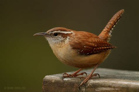 carolina wren attracting birds birds and blooms