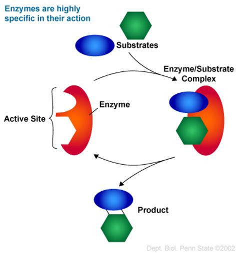 enzyme diagram enzyme specificity