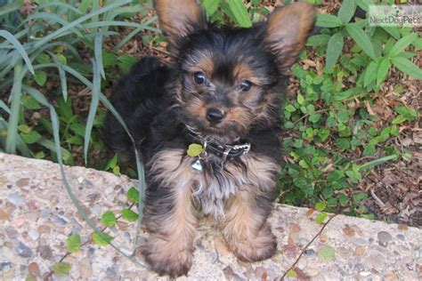 yorkies for sale in shreveport louisiana terrier yorkie puppy for sale near shreveport louisiana 5ad71139 0fc1