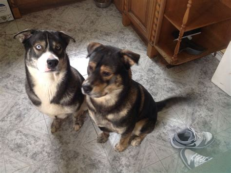 husky and rottweiler mix rusky the husky rottweiler cross milton keynes buckinghamshire pets4homes