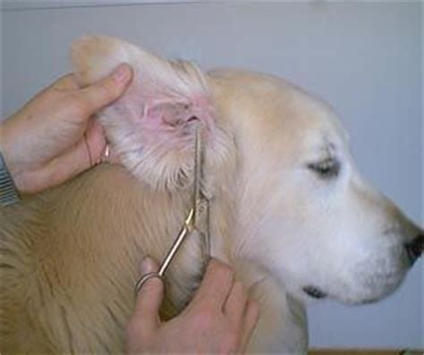 golden retriever ears trimming up those golden retriever ears goldens other dogs pin